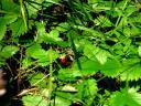 gozdna jagoda