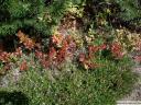 Borovnice v jesenskih barvah