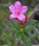 rododendron-v-jutranji-rosi
