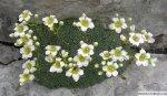 gorsko-cvetje-v-skali