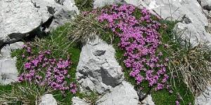 Cvetje pod vrhom