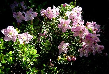 Cvetoči grmiček