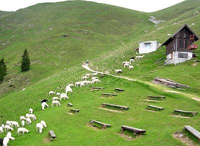 Ovčke na paši