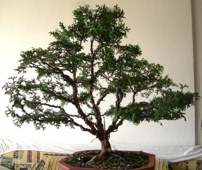 Cipresa bonsaj